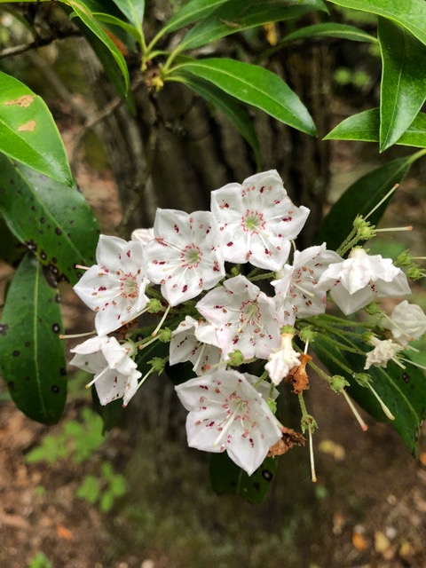 Finally, mountain laurel!